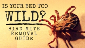 Pest bird control problem? You may have to deal with bird mites too!